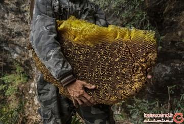 این مردها برای جمعآوری عسلی ۵۰ دلاری، تا یک قدمی مرگ میروند! +تصاویر