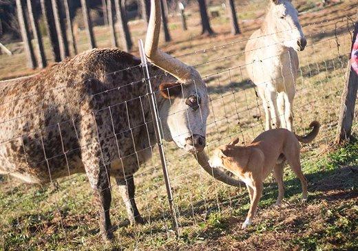 گاوی با شاخ 323.74 سانتیمتری در آلاباما
