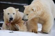 تصاویر | شیطنت خرسهای قطبی در مسکو