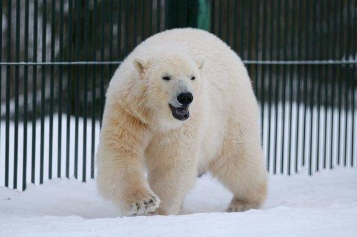 بازی خرسهای قطبی در مسکو