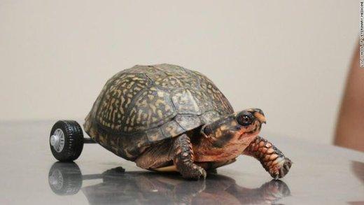 لاکپشتی با پاهای مصنوعی
