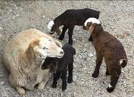 چه تعداد گوسفند و بره در کشور داریم؟/ تولد ٦٨٢ هزاررأس بره در خردادماه