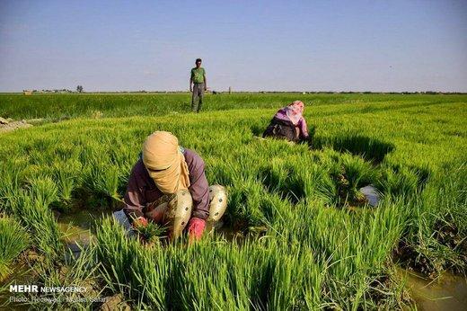 نشاء شالی در استان گلستان