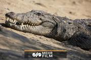 یک تمساح ۳.۵ متری در سیستان و بلوچستان زندهگیری شد