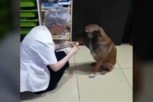 فیلم   سگ ولگرد برای درمان زخمهایش به داروخانه پناه برد!