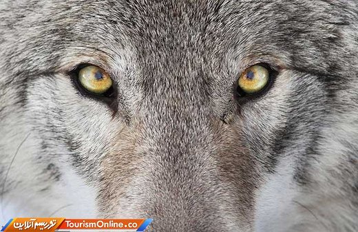 چوپانها، گله گرگها را کشتند و محکوم شدند/ عکس