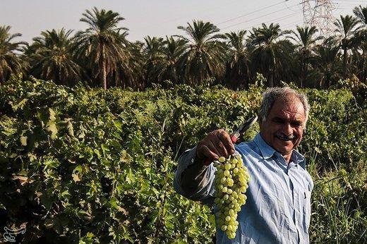 برداشت انگور از تاکستان غزاویه کارون