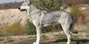 ماجرای عجیب گرگهای هیبریدی/ جمع شدن هوش سگ و شجاعت گرگ در یک درنده
