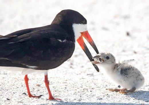 ته سیگار، خوراک جدید پرندگان دریایی/ عکس