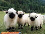 تصاویر | با نمکترین گوسفندان دنیا اینجا هستند، در سوئیس!