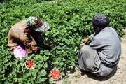 فعالیت ۱۷.۰۰۰ کشاورز کردستانی در حوزه کشت توتفرنگی