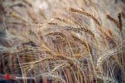 خرید تضمینی بیش از ۳۰.۰۰۰ تن گندم در آذربایجانغربی