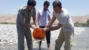 نجات  ۵۰۰۰ قطعه ماهی با انتقال به رودخانه سیمره