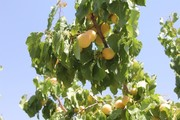 تولید زردآلو در آذربایجانغربی ۶۲ درصد افزایش یافته است