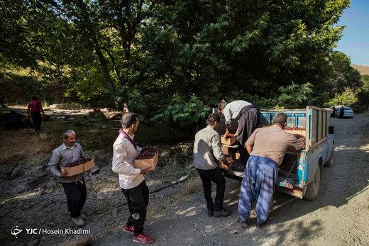 برداشت گیلاس در منطقه چناربان روستای هزاوه
