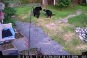 فیلم | حمله سگ خانگی به خرس سیاه گرسنه