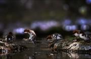 عکس | رژه جوجه اردکها در عکس روز نشنال جئوگرافیک