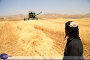 شروع پرداخت بهای گندم کشاورزان استان کردستان از ابتدای هفته آینده