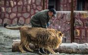 فیلم | شیر نر در باراجین قزوین به چه کسی حمله کرد؟
