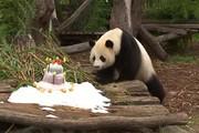 فیلم | جشن تولد پاندای ۱۱۰ کیلویی در باغ وحش برلین