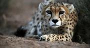 ۲ یوزپلنگ ایرانی در طبس مشاهده شد