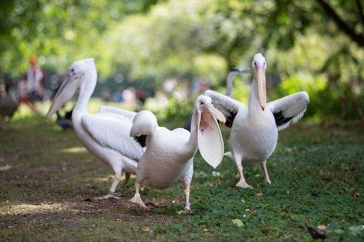 پلیکانهای سفید در پارک سنت جیمز لندن