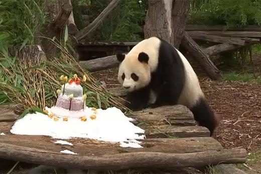 فیلم   جشن تولد پاندای ۱۱۰ کیلویی در باغ وحش برلین