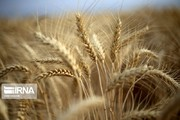 خروج غیرمتعارف ۲.۵۰۰ تن گندم از استان چهارمحالوبختیاری