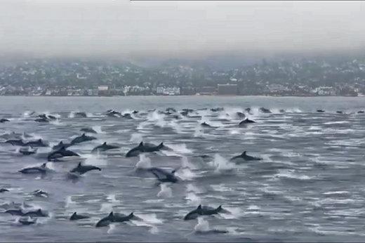 فیلم | گله بزرگ دلفینها در ساحل کالیفرنیا