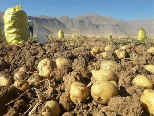 پیش بینی تولید ۲۵۰ هزار تن سیب زمینی در لرستان
