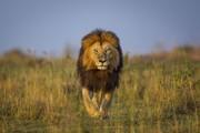 تصاویر | شیر شاه واقعی!