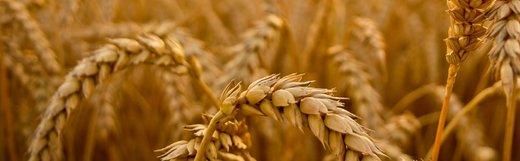 تقلب در سیلو: فضولات را با گندم مخلوط میکردند و میفروختند