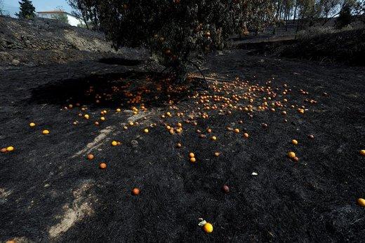 یک درخت پرتغال پس از آتش سوزی جنگلها در دهکده رودا در پرتغال
