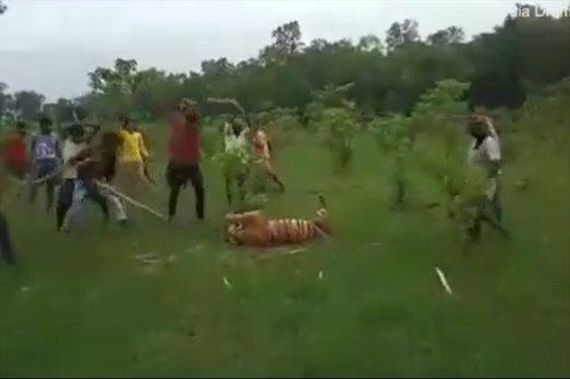 فیلم   صحنه دلخراش حمله ۳۰ نفره به ببر ۵ ساله! (۱۴+)