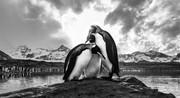 عکس | توقف پنگوئنها در عکس روز نشنال جئوگرافیک