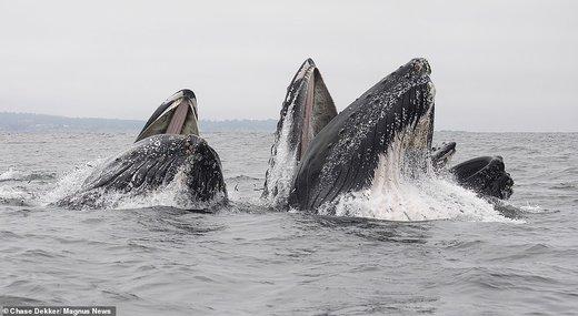 فرار شیر دریایی از دهان نهنگ