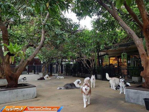 کافهای با حضور سگهای هاسکی در تایلند - بانکوک -