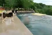 فیلم | سگها این گونه برای نجات صاحبشان به آب میزنند