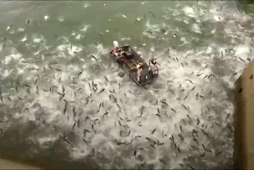 فیلم   صید ماهی کپور با «شوک الکتریکی»!