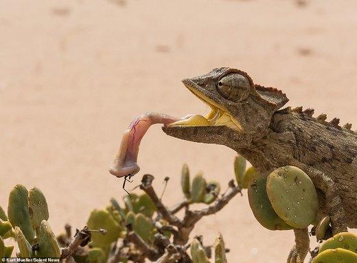 شکار کردن آفتابپرست در صحرای نامیب