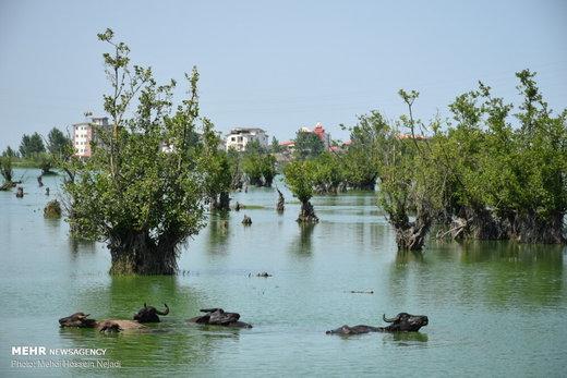 آبتنی گاومیشها در تالاب استیل آستارا
