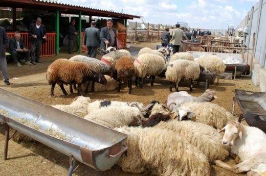 گوسفند زنده برای عید قربان کیلویی چند؟
