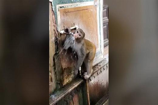 فیلم | وقتی میمون تشنه به شیر آب میرسد