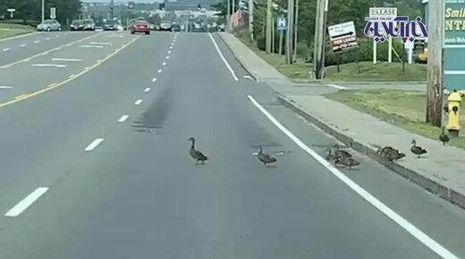 فیلم | حق تقدم با اردکهاست!