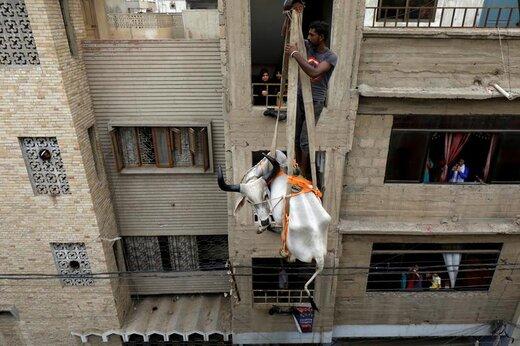 یک گاو پیش از فرا رسیدن عید قربان در شهر کراچی پاکستان با جرثقیل از پشتبام پایین آورده میشود