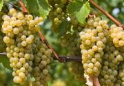 برداشت بیش از ۲۰۰هزار تن انگور در آذربایجانغربی آغاز شد