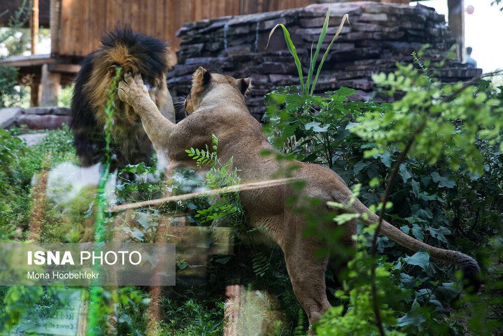 آغاز زندگی مشترک شیرهای ایرانی باغ وحش تهران