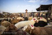 تصاویر | بازار داغ فروش دام در آستانه عید قربان