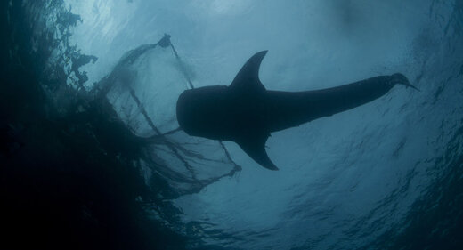 کوسه عتیقه در اقیانوس اطلس شمالی به تور افتاد