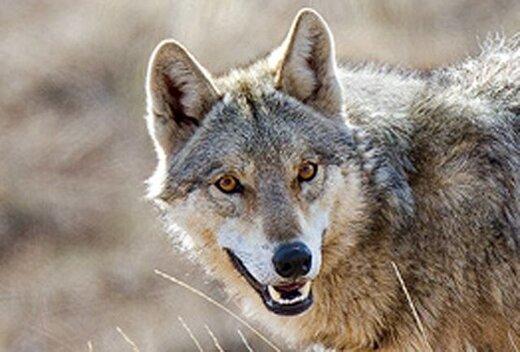 حمله گله گرگ ها به 4 مرد روستایی